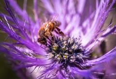 L'Abeille et La Reine (François Leroy) Tags: françoisleroy france hautesalpes montagne fleur abeilles reine alpes lautaret