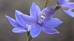 Thelymitra macrophylla - Scented Sun orchid (Graham B. Giles) Tags: thelymitra wa flowers plants thelymitramacrophyllascentedsunorchid sunorchid australianorchids