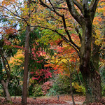 Japanese Colored Leaves thumbnail