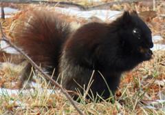 IMG_1990-1 (lbj.birds) Tags: kansas nature flinthills wildlife squirrel melanisticeasternfoxsquirrel easternfoxsquirrel