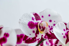 White and purple Orchid flowers with droplets (wuestenigel) Tags: orchid exotic purple floral branch violet water background decorative bloom beautiful flower plant drops dew flora closeup pink orchids botanical blossom nature fresh phalaenopsis tropical white blume orchideen natur wunderschönen blumen petal blütenblatt elegant blooming blühen leaf blatt bright hell tropisch romance romantik color farbe romantic romantisch exotisch nahansicht summer sommer love liebe