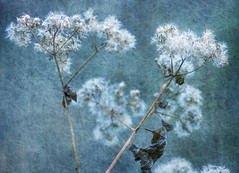 Withering Away (Southern Darlin') Tags: art textures bur creative plant photography photo photoshop brushes nature naturephotography