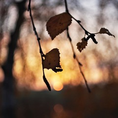 Sun set (Stefano Rugolo) Tags: stefanorugolo pentax k5 pentaxk5 kepcorautowideanglemc28mm128 ricohimaging sunset foliage autumn branches depthoffield bokeh abstract hälsingland sweden sverige manualfocuslens manualfocus manual vintagelens atmosfera mood serene