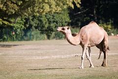 Dromedary (Cloudtail the Snow Leopard) Tags: dromedar tier animal mammal säugetier kamel einhöckriges arabisches camelus dromedarius dromedary arabian camel tierpark berlin