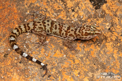 Weber's Gecko - Pachydactylus weberi (Tyrone Ping) Tags: webers gecko pachydactylus weberi cute little macro love tyroneping wwwtyronepingcoza close up namaqualand desert amazing travel road trip nature natural canon 5dmiii 100mmmacrof28 mt24ex f28l creature critters creatures wild life southern africa african herps herping herpetology