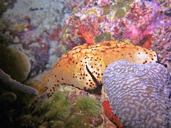 Culcita novaeguineae (kmlk2000) Tags: maldives vacation sea ocean sealife sun blue underwater fish poisson beach reef