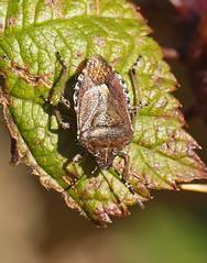 2018_10_0316 (petermit2) Tags: hairyshieldbug shieldbug stinkbug dolycorisbaccarum pottericcarr potteric doncaster southyorkshire yorkshire yorkshirewildlifetrust wildlifetrust ywt