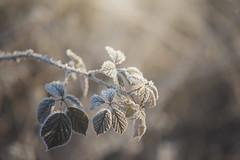 Frosty Kisses... (KissThePixel) Tags: frosty frostymornings winter winterflora flora bokeh light sunlight delight bokehlicious february nikon nikond750 makro macro closeup f28 28 sigma sigma70200mm 70200mm
