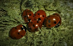 Winter Ladies in Lichen..x (Lisa@Lethen) Tags: ladybirds ladybugs insect winter wildlife nature hibernating hibernation lichen fence post scotland