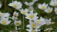 Buschwindröschen (Conny Schumacher) Tags: frühjahr buschwindröschen blume waldrand spring flower