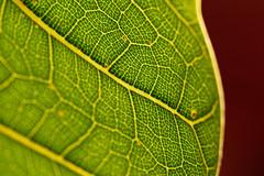 Ficus lyrata (alterahorn) Tags: macromondays picktwo ficuslyrata leaf blatt geigenfeige macro makro closeup olympusomdem1markii olympus mzuiko 300mm mc14 telemakro telemacro dxo teleobjektiv