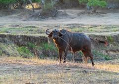 A fine specimen - male buffalo (riandar) Tags: africa mvuulodge wildlife liwondepark nationalpark malawi gamereserve liwonde buffalo mammals safari