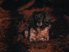Springer Spaniel-2 (neil 36) Tags: springer spaniel working dog pet