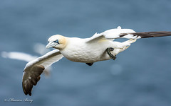 Gannet 07-Sept-18  M_004 (Explored) (gomo.images) Tags: red 2018 aberdeenshire bird country gannet nature scotland troup head trouphead aberdeen