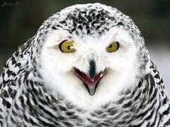Robert Snowy Owl CRC IMG_3743 (Jennz World) Tags: ©jennifermlivick canadianraptorconservancy vittoria ontario canada snowyowl owl raptor winter snow