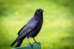 (seua_yai) Tags: northamerica california sanfrancisco thecity seuayai sanfrancisco2019 bird crow raven birdwatching