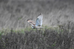 Short Eared Owl. (carl owlman) Tags: shortearedowl