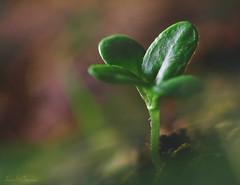 Seed of Life! (LUSEJA) Tags: green macromondays life like love seeds semillas seed verde
