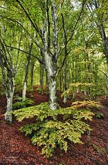 The forest (guitarmargy) Tags: forest bosco nature colors canon trees foglie alberi legno wood autunno wild marcellobardi photography picture paesaggio season landscape panorama