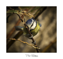 Nobody will see me hiding behind this! (timgoodacre) Tags: blue bluetit bird birds birdportrait birdlife wildbird wildlife wildanimal wild nature nationalgeographic natural branch branches ngc outside outdoors outide