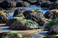 20150830_bowling_ball_beach_025 (petamini_pix) Tags: mendocinocounty california bowlingballbeach schoonergulch beach rocks rock sand coast shore water seaweed