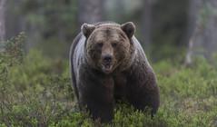 A little bit wrestling? (Jyrki Liikanen) Tags: bear bearphotography wildlife wildlifephotography wildnature wildanimal wild wilderness naturephotography nature naturephoto nikon nikonphotography nikond850 jyrkiliikanenphotography finland finnland