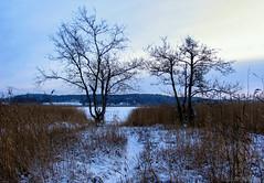 Trees & reeds (Joni Mansikka) Tags: winter nature outdoor landscape trees reeds snow sky piikkiö suomi finland