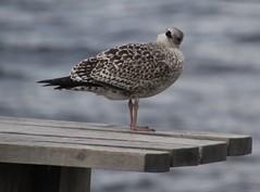 Young Seabird on a Bench, Scotland. (Seckington Images) Tags: seabird bench scotland flickr