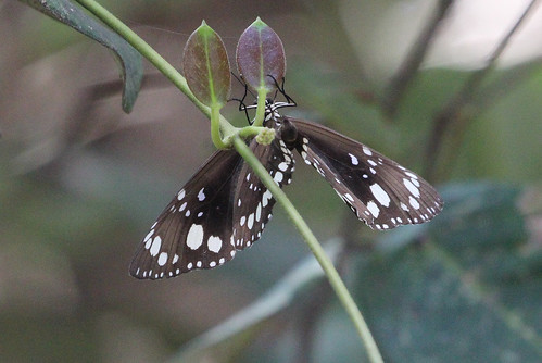 Euploea core corinna (Common Australian Crow)