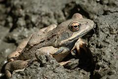 Rana cf. temporaria (Common Frog) - Ranidae - Shipka, Bulgaria-2 (Nature21290) Tags: amphibian anura bulgaria bulgaria2018 commonfrog frog rana ranatemporaria ranidae shipka