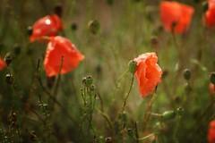 *** (pszcz9) Tags: przyroda nature natura naturaleza zbliżenie closeup kwiat flower mak poppy bokeh beautifulearth sony a77