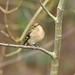 Chaffinch (f) at Warnham Nature Reserve (David Verrall) Tags: chaffinch