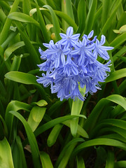Blue Surrounded by Green (Steve Taylor (Photography)) Tags: blue green newzealand nz southisland canterbury christchurch plant leaves flower foliage