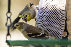BackyardBirds_1-21-19-36 (RobBixbyPhotography) Tags: florida goldfinch jacksomville backyard birds