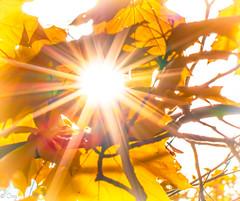 Here Comes The Sun (konstantin oxy) Tags: sun sonne sonnenstern herbst laub natur autumn