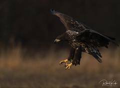 Approaching White-tailed Eagle! ! (Jambo53 (catching up)) Tags: whitetailedeagle arend adelaar birdofprey raptor nikond800 nikon500f4 copyrightrobertkok talons klauwen landing approaching eagle