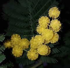 Mimosa 2019 (Marvinette (passe en free)) Tags: flore fleur fleurs flowers flower france jaune yellow androïd aimezvouslesfleurs hiver winter mimosa nature
