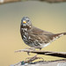 DSC_8130.jpg Fox Sparrow, Schwan Lagoon