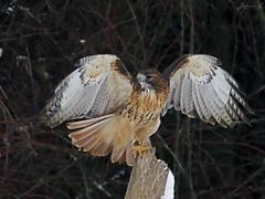Sadie Red-tailed Hawk CRC IMG_2987 (Jennz World) Tags: ©jennifermlivick canadianraptorconservancy vittoria ontario canada redtailedhawk hawk bird raptor winter snow