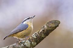 nuthatch close perch (G_Anderson) Tags: missouri yard birds birding backyard winter urban red breasted nuthatch migration irruption