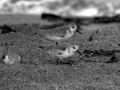 Sanderling (fractalv) Tags: california carmelbythesea monastary beach pacificcoasthighway pacific ocean bird birds bw