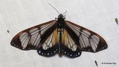 Tiger Moth, Dysschema grassator, Erebidae (Ecuador Megadiverso) Tags: andreaskay ecuador moth wildsumaco tigermoth dysschemagrassator erebidae arctiinae