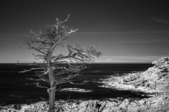 Monterey coast (TPStearns) Tags: infrared blackandwhite monochrome tree monterey asilomar pacificgrove