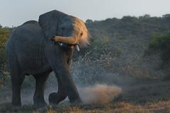 Kicking up some dust (Coisroux) Tags: d850 nikond850 elephant africansafari kwandwe big5 animals portrait dust bushveld wildlife