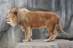 Lion 3 (Emily K P) Tags: milwaukeecountyzoo zoo animal wildlife bigcat cat feline male lion tan yellow grey gray rock roar vocalize