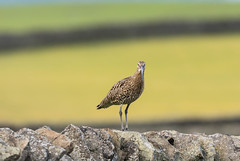 Wildlife around Magdalen June 2018 335 (Mark Schofield @ JB Schofield) Tags: reservoir water peat moorland bog moss agriculture yorkshire huddersfield wessenden head pule buckstones scammonden royd edge valley holme colne marsden meltham digley march haigh west nab deer emley mast lapwing curlew hare bird wildlife oyster catcher chick young short eared owl pennine way south pennines peak national park trust hills moors vallies hunting little duck mallard grouse kestrel red grey wagtail flight fly