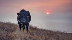 Angry cow (PeterThoeny) Tags: sierravistapoint sierravistaopenspacepreserve sanjose sanfranciscobay sanfranciscobayarea california usa mthamilton cow animal grass field pasture dusk sunset sky outdoor haze smog sony sonya7 a7 a7ii a7mii alpha7mii ilce7m2 fullframe fe2870mmf3556oss raw photomatix hdr qualityhdr qualityhdrphotography 2xp landscape fav200