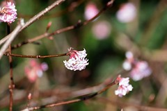 Blossom and bokeh. (pstone646) Tags: blossom tree pink flora nature twigs flowers bokeh buds
