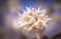 Tree flowers ... January 2019 (Julie Greg .. Holiday 13/12 - 31/12 2018) Tags: flower bloom nature colours details canon tree january2019 england kent