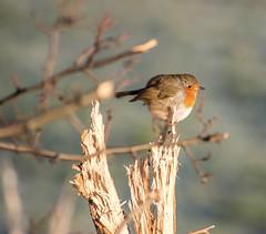 Another badly focused bird...xx HFF ☺️ (shona.2) Tags: gullane eastlothian scotland plump bird friday hff fence robin
